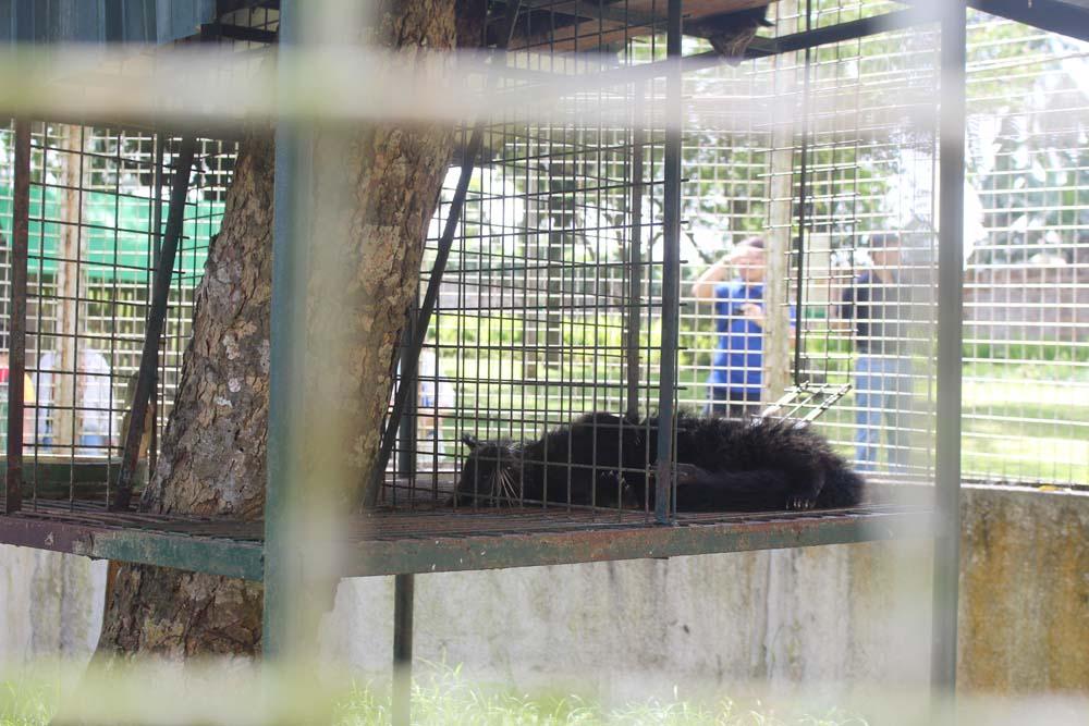 A sleeping Palm Civet in the farm