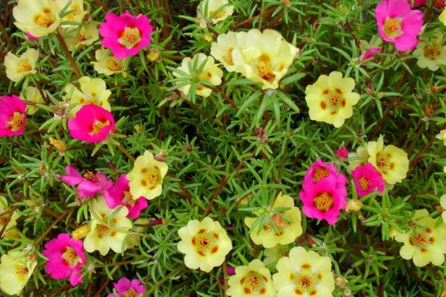 Summer Hang Vietnam Roses