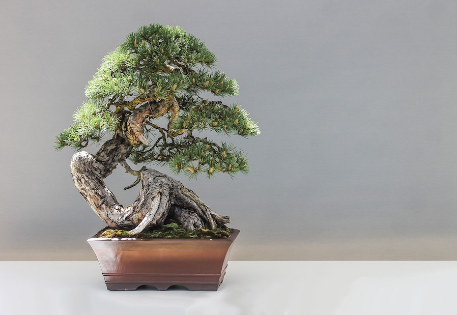 Plant Setup Beauty of Bonsai