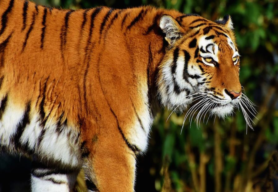 Tiger animal photo