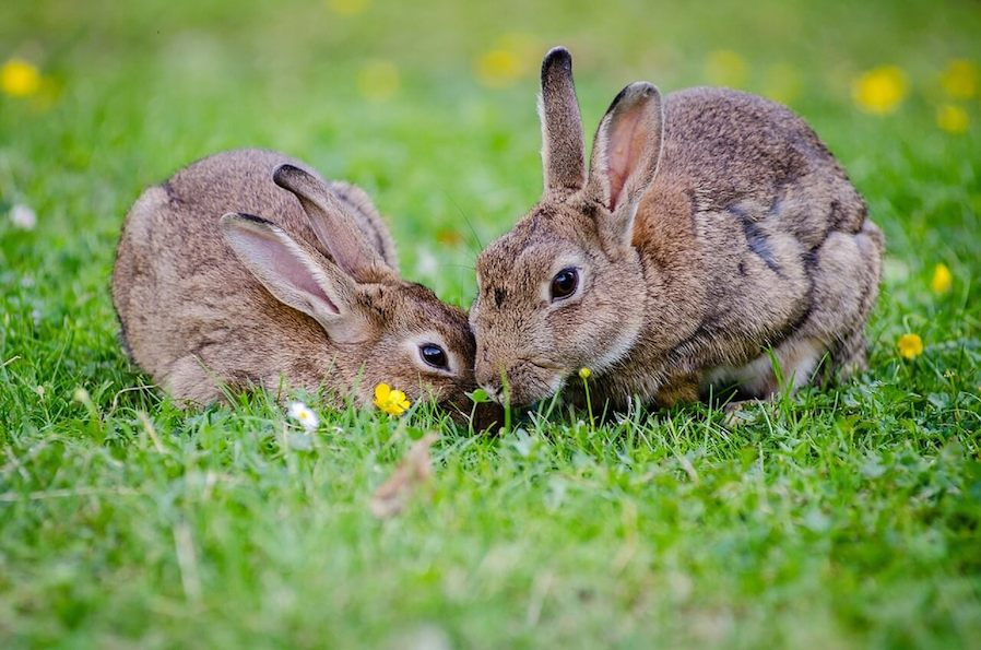 two gray rabbits