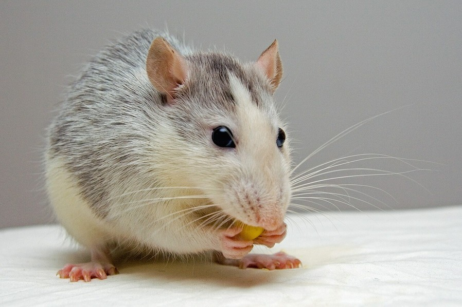 white and gray rat animal