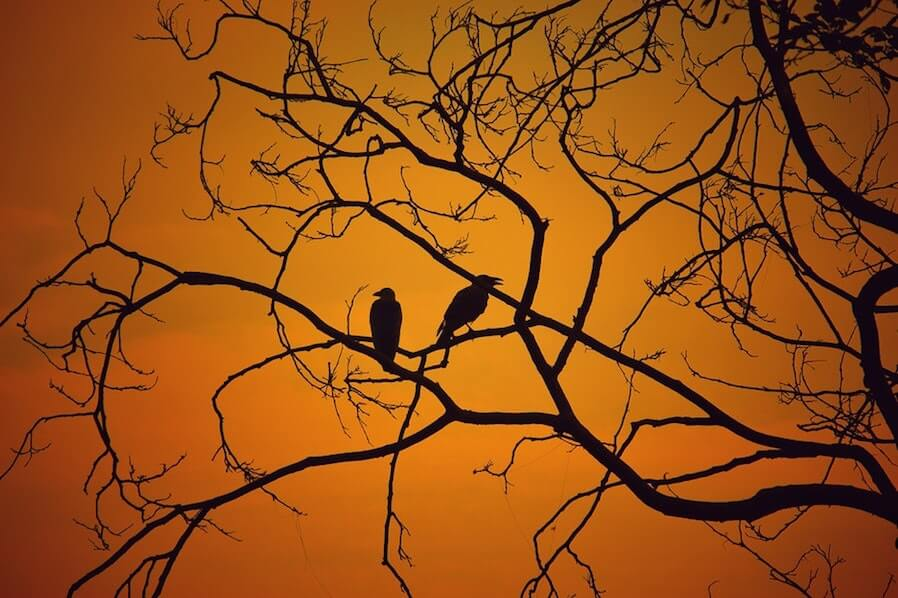 two crows on tree branches during sunset