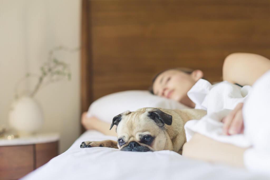 pug sleeping beside woman in bed